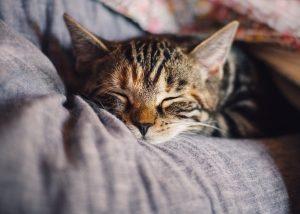 cat, pet, sleep